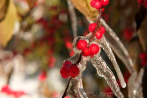 After a recent snow shower, sunshine is melting remaining snow encasing berries in ice on a holly bush, Thursday, Dec. 3, 2015, in Sioux City, Iowa.  (photo by Jerry L Mennenga©)