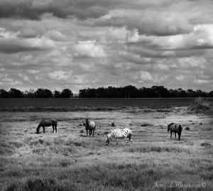 Horses grazing in rural South Dakota Monday, August 8, 2016.       (Photo by Jerry L Mennenga©)