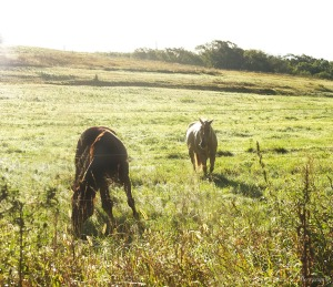 Horses graze in a field near Stone State Park in Sioux City, Iowa, Thursday Sept. 8, 2016.       (Photo by Jerry L Mennenga©)