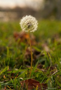 A dandelion still trying to produce next year's crop along the lake in Storm Lake, Iowa Nov. 1, 2016.   (Photo by Jerry L Mennenga©)