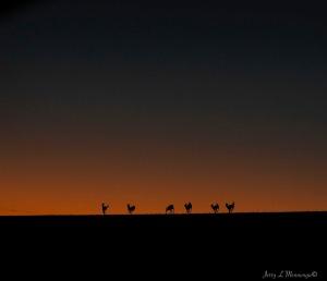 Deer romp across a corn field in dwindling evening light in rural Plymouth County, Iowa, Saturday, Jan. 14, 2017.   (photo by Jerry L Mennenga©)