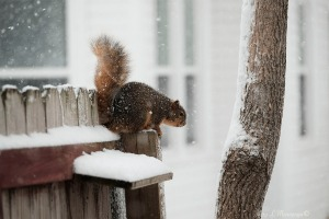 A squirrel sits to decide what to do in freshly fallingsnow Tuesday, Jan. 25, 2017.   (photo by Jerry L Mennenga©)
