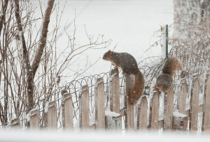 Squirrels play in freshly falling snow Tuesday, Jan. 25, 2017.   (photo by Jerry L Mennenga©)