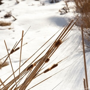 Dead cattails in a garden area make an interesting contrast to the snow on the campus of the University of South Dakota, Vermillion, SDThursday, Feb. 2, 2017. (photo by Jerry L Mennenga©)